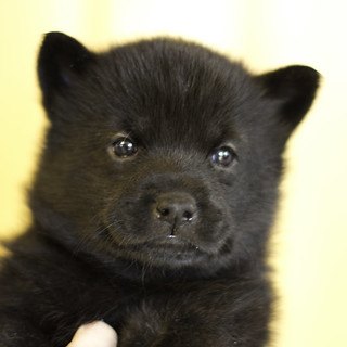 Kumi-Litter3-Day30-Puppy1-Female-a | by brada1878