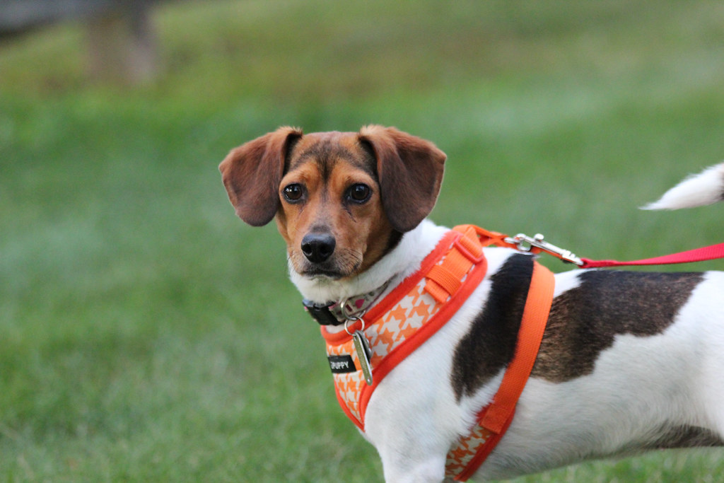 Millie, Beagle and Rat Terrier Mix