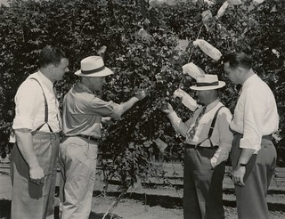 Brewmaster and two assistants from the Blitz Weinhard brewery, Portland, are shown hop breeding work under way on the OSC experiment station by G.R. Hoerner, extension hop specialist.  Photo by R. G. Fowler | by OSU Special Collections & Archives