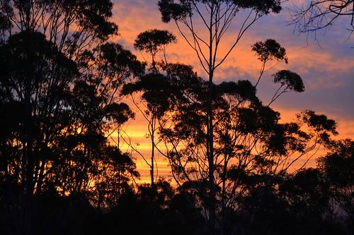sunset cloudscape sunsetclouds trees silhouette eucalyptusgrandis floodedgum tamborinemountain sequeensland queensland australia australianweather australiantrees mounttamborine