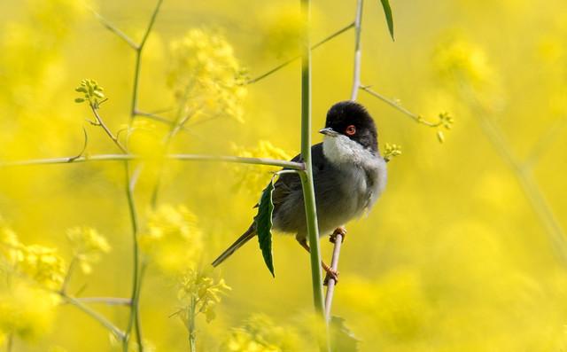 Toutinegra de cabeça preta | Sylvia melanocephala | Sardinian Warbler