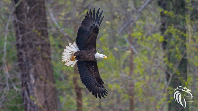 Bald Eagles of Swimming River | 2017 - 9