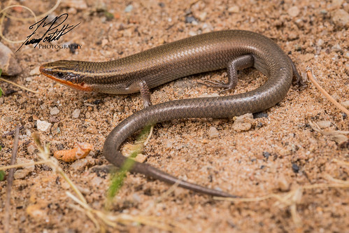 Short-lined Skink | by Frank Portillo