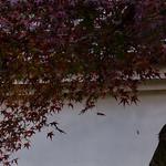 「葡萄色」 天龍寺 - 京都