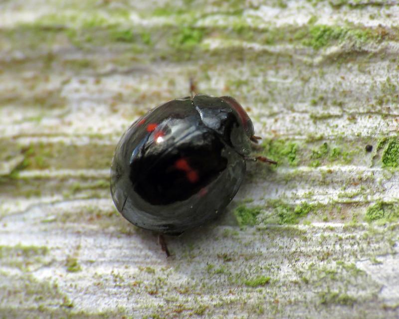 Heather Ladybird - Chilocorus bipustulatus