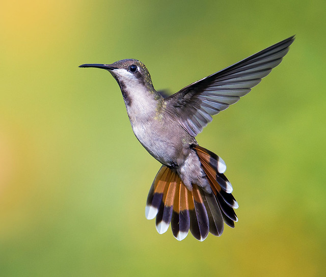 The Dancer. Female Ruby Topaz Hummingbird, -Chrysolampis mosquitus- Trinidad. La bailarina real. Tucusito Real hembra.