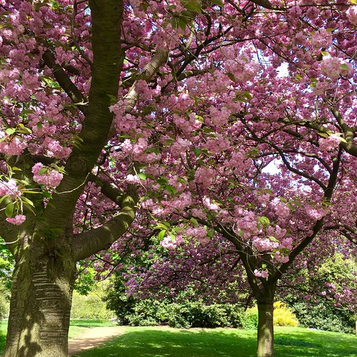 Kensington Gardens 2017 cherry blossom | by Fran Pickering