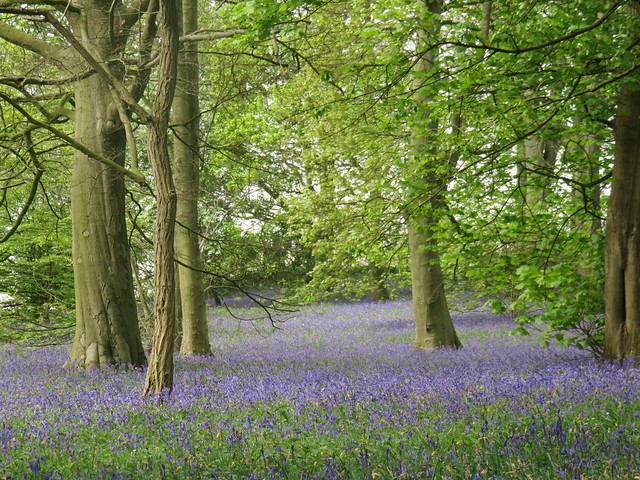 Bluebells in the wood.