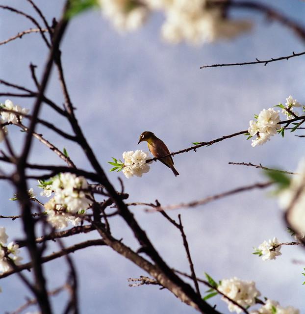 Warbler among plum blossoms