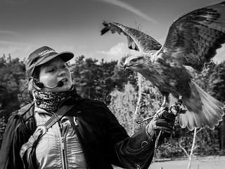 Falconer with long-legged buzzard
