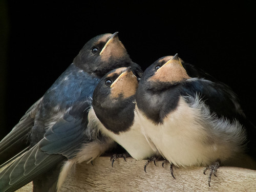 DSCF7209 Fledgling swallows | by Steve_Herring