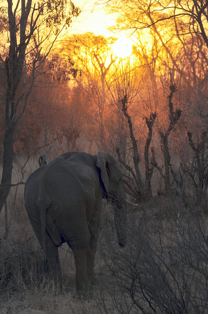 Elephant in the sunset, Loxodonta, Hwange National Park, Zimbabwe