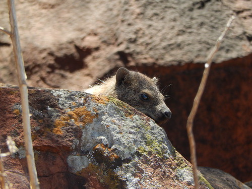 Waterberg - rock hyrax