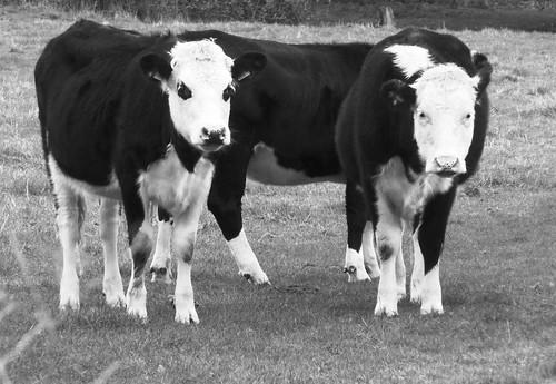 Hungry Cows Rampton Nov 2013