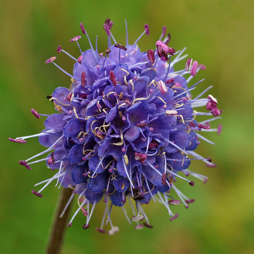 Devil's Bit Scabious | by Elmer Duck