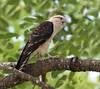 Panama: Yellow-headed Caracara by spiderhunters