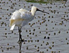 Royal spoonbill - Platalea regia by Maureen Pierre