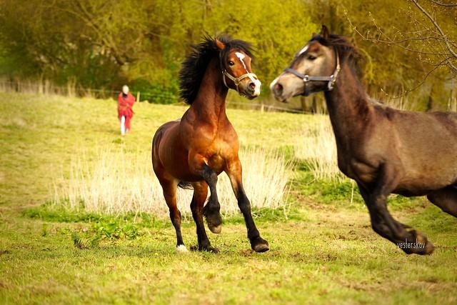 Welsh Cob Stallion: Parc Alfe