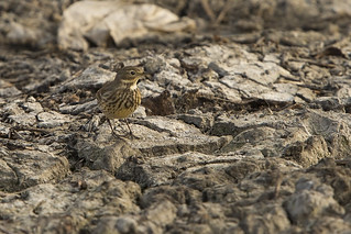 American Pipit (Anthus rubescens) 2 111813 | by evimeyer