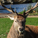 Portrait of a Deer in Bushy Park