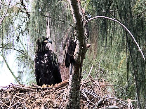 Bald Eagle two eaglets 20170425
