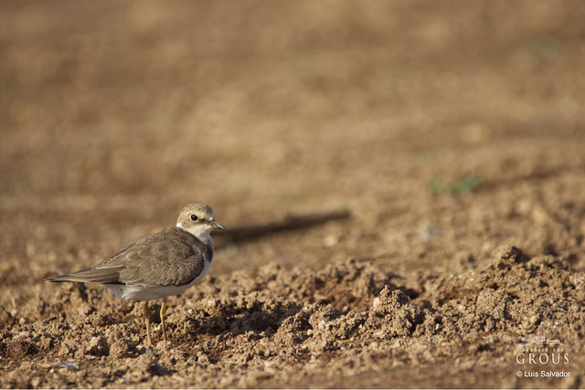 A brown Plover!