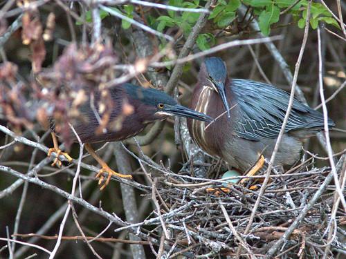 Green Herons tender moment position 6 2-20170409