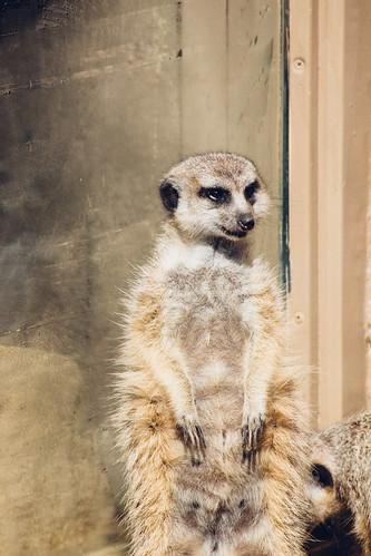 meerkat | by rachelakelso
