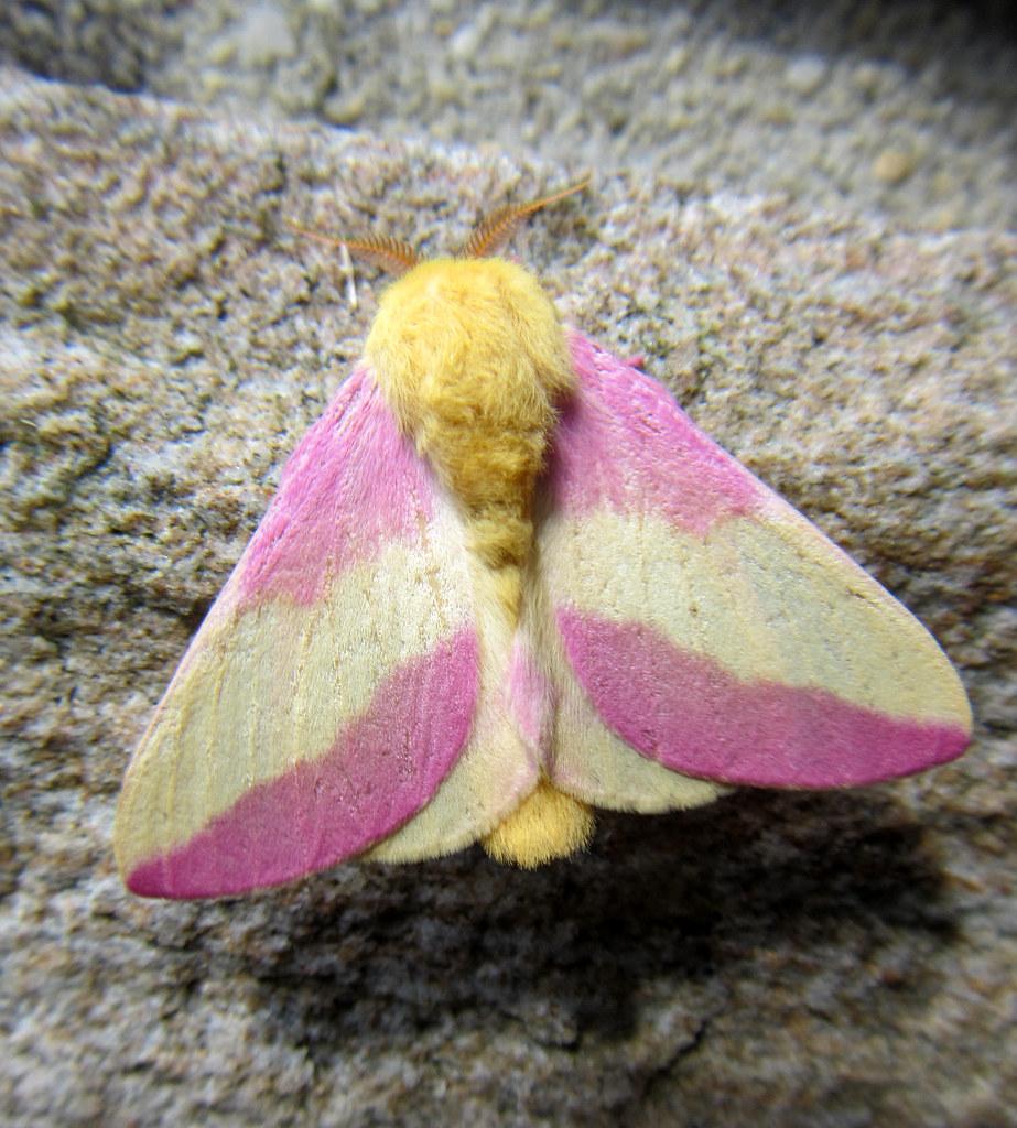 Rosy maple moth   Dryocampa rubicunda; New Germany State ... - photo#8
