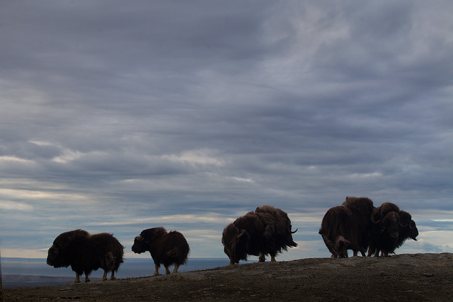 Musk Ox on Anvil Mountain
