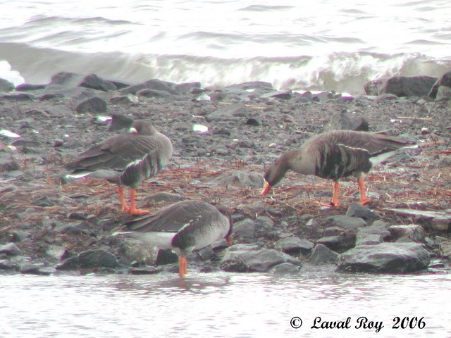 1.00239 Oie rieuse / Anser albifrons frontalis / Greater White-fronted Goose