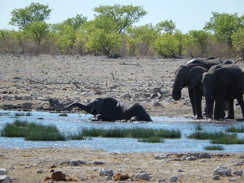 Etosha NP - olifant in bad