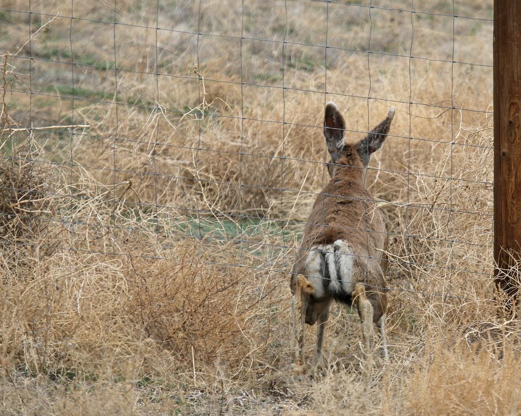 Mule Deer 9502