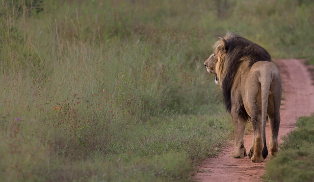 Male lion living in Entabeni South Africa