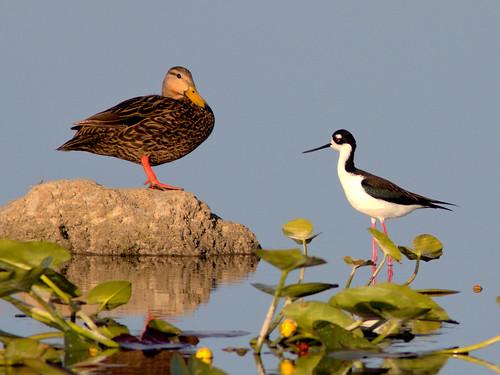 Mottled Duck and Black-necked Stilt 03-20170421