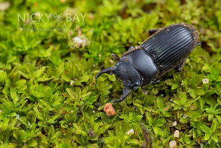 Stag Beetle (Lucanidae) - DSC_4692 | by nickybay