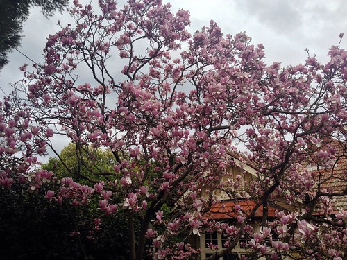 Magnolia Tree in a friends front yard | by griffmiester