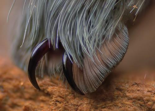 B. albopilosum, mature male, 5-inches