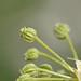Flickr photo 'Conium maculatum LV8710-D248-2000' by: Sarah Gregg Petriccione.