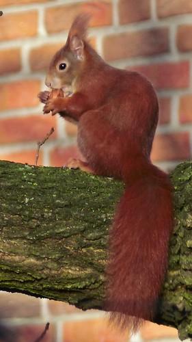 eichhörnchen mit nuß, ngidn434468793   naturgucker.de