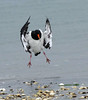 South Island Pied Oystercatcher coming in to land Haematopus finschi by Maureen Pierre