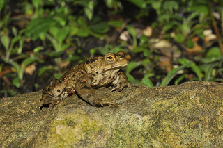 Common Toad (126) | by markhows