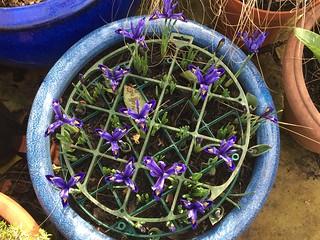 Iris reticulata | by emalone17