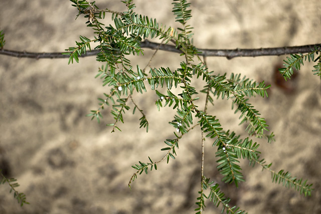 Adelges tsugae infestation, Tsuga sp.,  Pogue Creek Canyon SNA, Pickett County, Tennessee