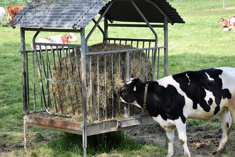 Cows 11.04 (3)