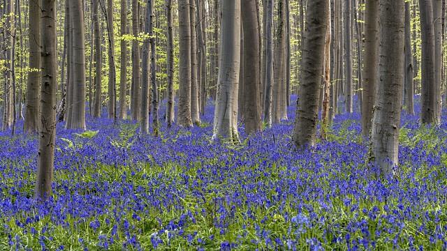 *Hallerbos @ purple-blue*