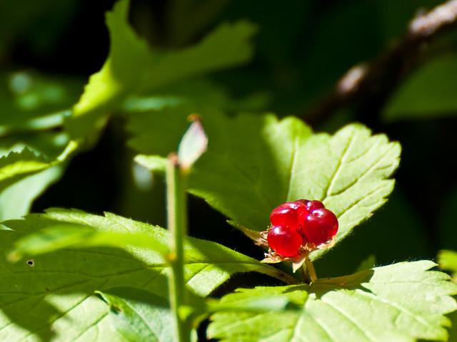 Trailing Raspberry