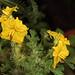 Flickr photo 'Solanum rostratum. Utah, U.S.A.' by: utahmatz.