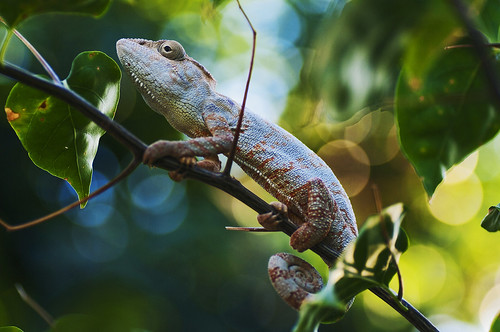 Chameleon with bokeh backround | by Mika Andrianoelison
