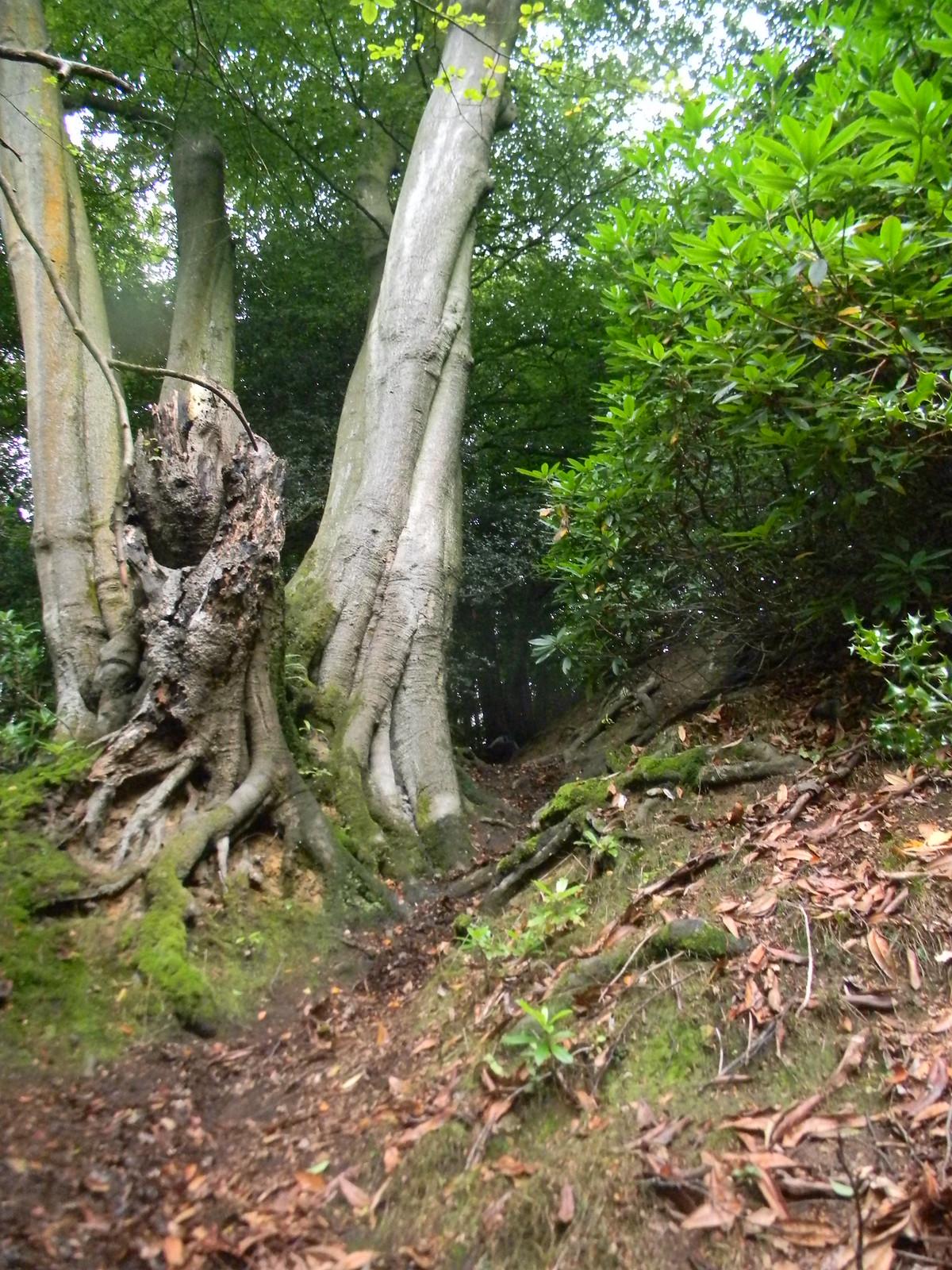 Big tree, steep gully Holmwood to Gomshall